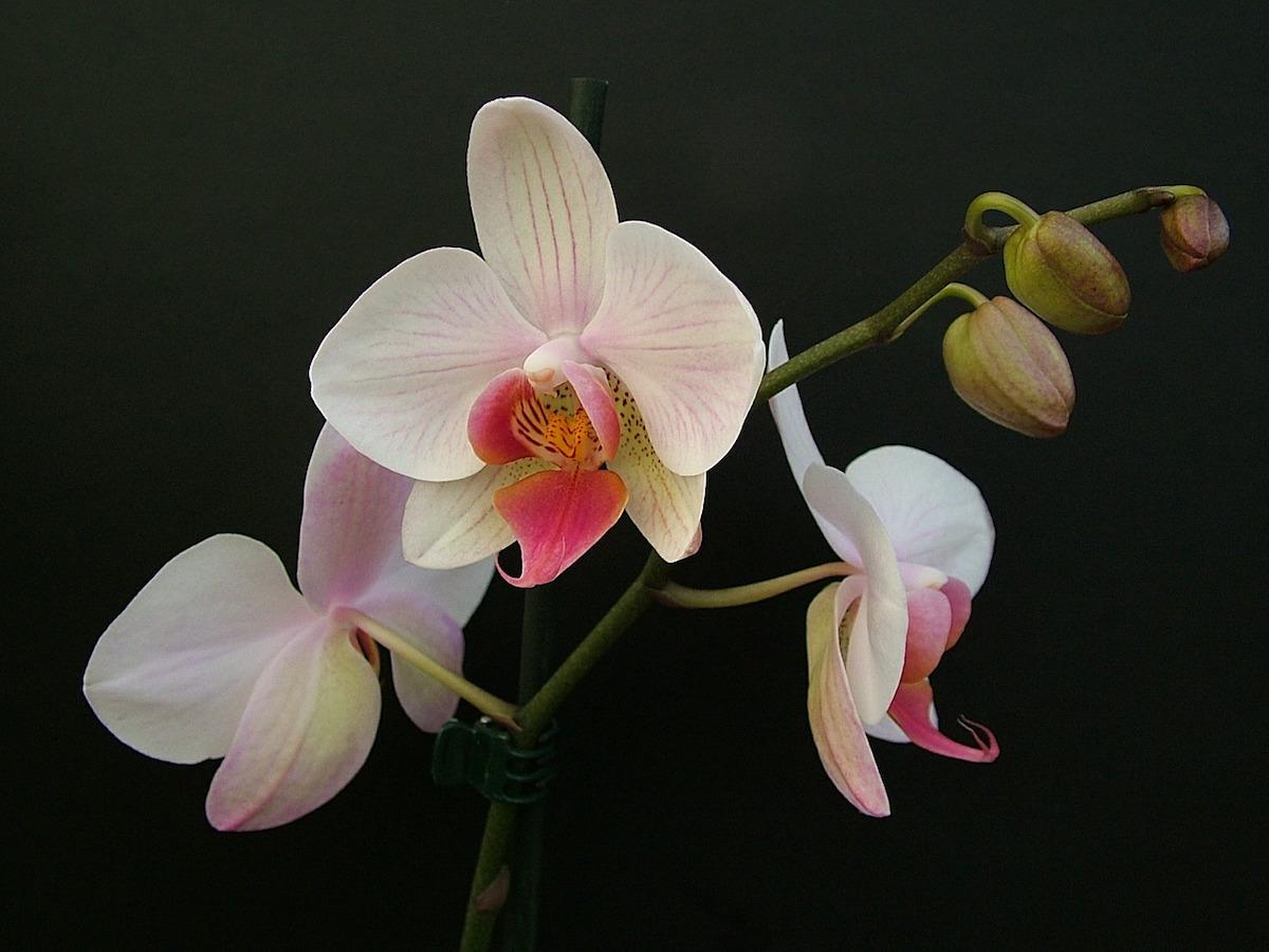 come prendersi cura delle orchidee green mag. Black Bedroom Furniture Sets. Home Design Ideas