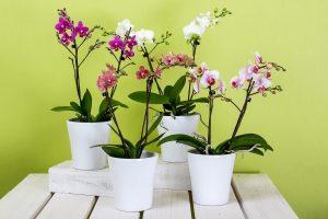 Prendersi cura delle orchidee - le phalenopsis