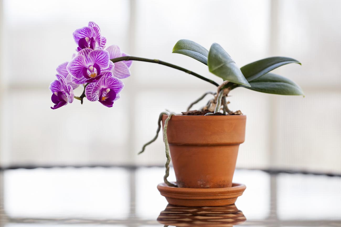 come mi prendo cura di un'orchidea?