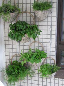 le piante aromatiche per scacciare le zanzare