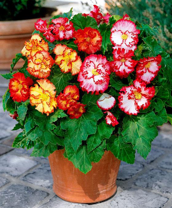 crispa-marginata- come avere il balcone fiorito tutto l'anno