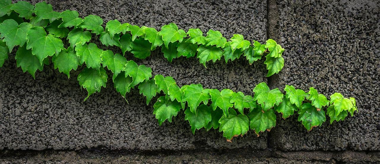 L'edera per decorare giardino e terrazzo tutto l'anno