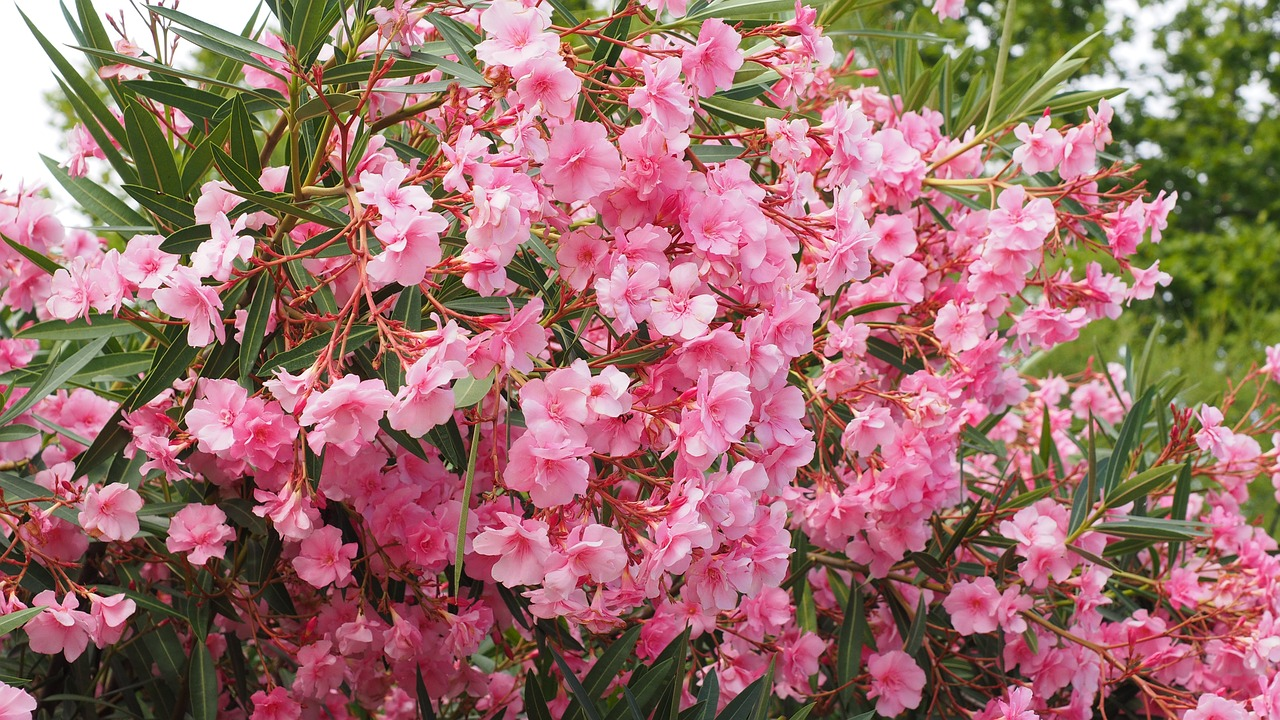 L'oleandro è una pianta che restano verdi tutto l'anno