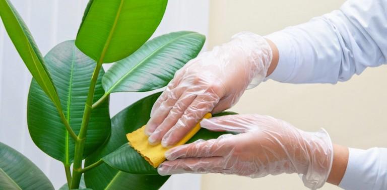 Come pulire le foglie delle piante da appartamento