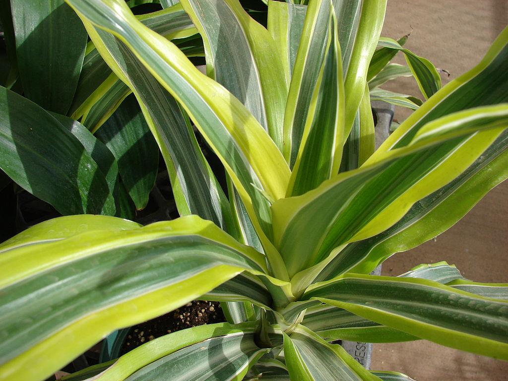 Ecco le 4 piante che resistono al vostro pollice nero