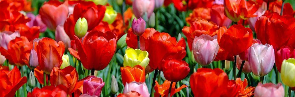 fiori di marzo carini tulipani
