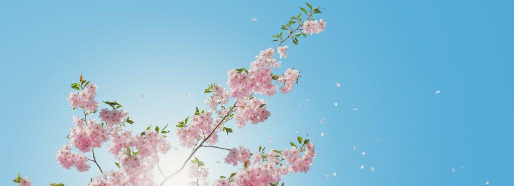 i fiori di marzo e i ciliegi in fiore