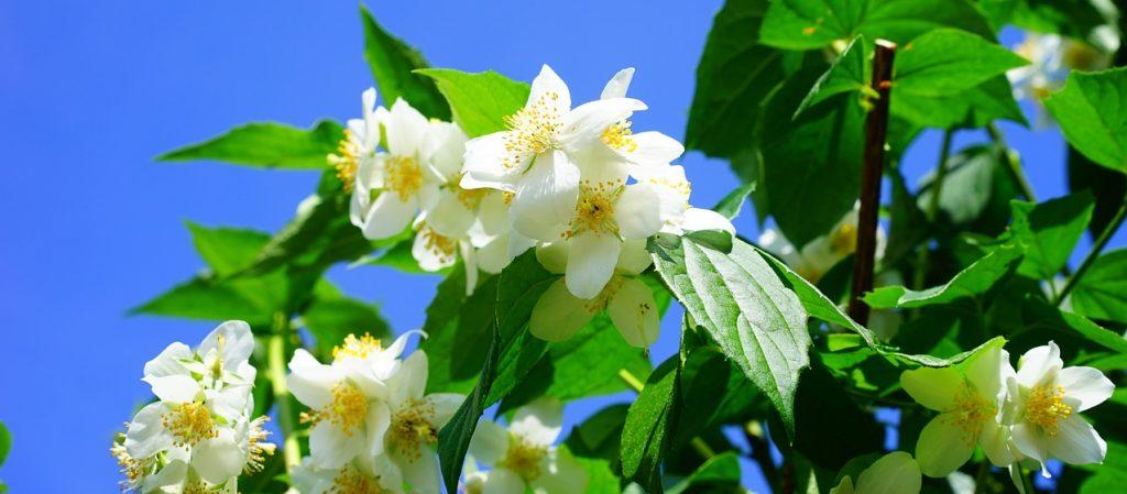 il Filadelfo il più bello tra i fiori di marzo