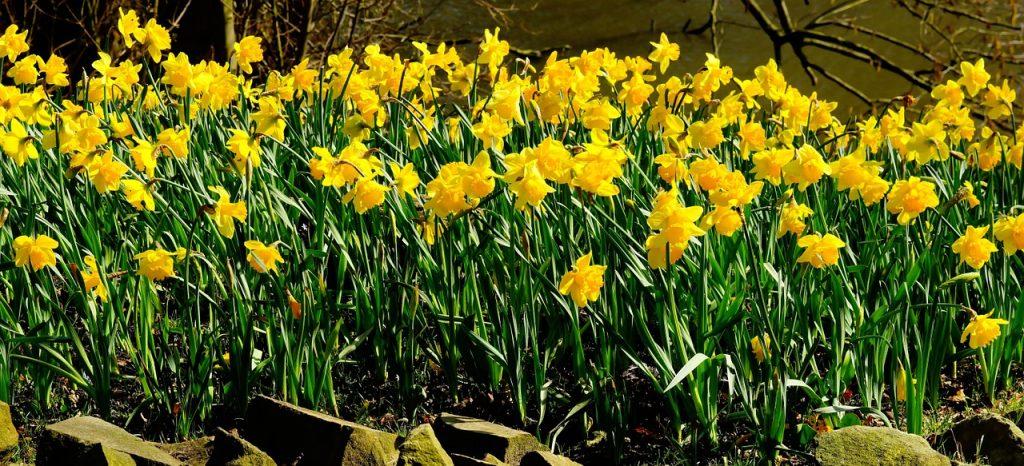 il narciso uno dei fiori di marzo