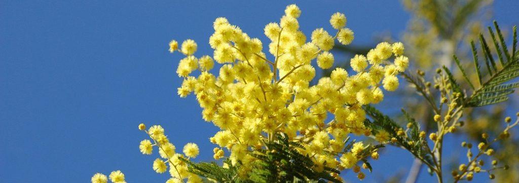 la mimosa tra i fiori di marzo